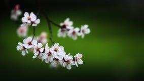 Flor del melocotón Imagen de archivo
