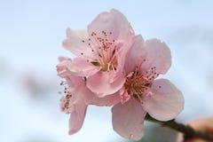 Flor 2 del melocotón Imagen de archivo libre de regalías