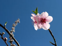 Flor del melocotón fotos de archivo libres de regalías
