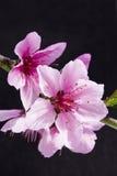 Flor del melocotón fotografía de archivo