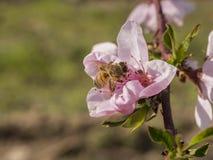 Flor del melocotón con la abeja Imagenes de archivo