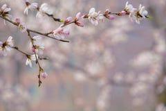 Flor del melocotón de la montaña fotografía de archivo libre de regalías