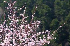 Flor del melocotón de la montaña foto de archivo libre de regalías