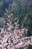 Flor del melocotón de la montaña fotos de archivo libres de regalías