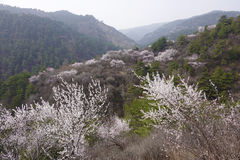 Flor del melocotón de la montaña imágenes de archivo libres de regalías
