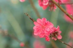 Flor del melocotón en árbol La flor del melocotón es símbolo del Año Nuevo lunar vietnamita - días de fiesta de Tet en el norte d Fotografía de archivo libre de regalías
