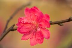 Flor del melocotón en árbol La flor del melocotón es símbolo del Año Nuevo lunar vietnamita - días de fiesta de Tet en el norte d Fotos de archivo