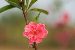 Flor del melocotón en árbol La flor del melocotón es símbolo del Año Nuevo lunar vietnamita - días de fiesta de Tet en el norte d Foto de archivo libre de regalías