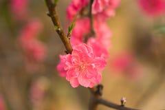 Flor del melocotón en árbol La flor del melocotón es símbolo del Año Nuevo lunar vietnamita - días de fiesta de Tet en el norte d Imagen de archivo libre de regalías