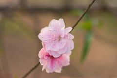 Flor del melocotón en árbol La flor del melocotón es símbolo del Año Nuevo lunar vietnamita - días de fiesta de Tet en el norte d Imágenes de archivo libres de regalías