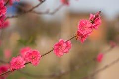 Flor del melocotón en árbol La flor del melocotón es símbolo del Año Nuevo lunar vietnamita - días de fiesta de Tet en el norte d Fotos de archivo libres de regalías