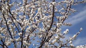 Flor del melocot?n en abril contra el cielo azul almacen de video