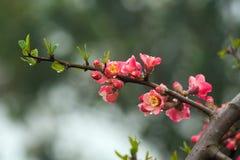 Flor del melocotón en el área moutainous Imagen de archivo libre de regalías