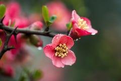 Flor del melocotón en el área moutainous Fotos de archivo libres de regalías