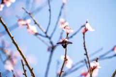 Flor del melocotón en primavera en Alemania Fotografía de archivo libre de regalías