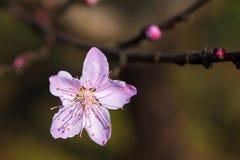 Flor del melocotón en sol fotos de archivo