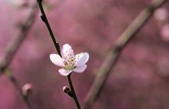 Flor del melocotón que florece en primavera Imágenes de archivo libres de regalías