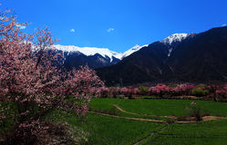 Flor del melocotón y montañas capsuladas nieve Fotos de archivo libres de regalías