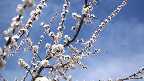 Flor del melocot?n en abril contra el cielo azul almacen de metraje de vídeo