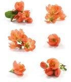 Flor del membrillo Foto de archivo libre de regalías