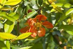 Flor del membrillo Imagen de archivo libre de regalías
