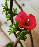 Flor del membrillo Foto de archivo