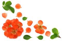 flor del membrillo aislado en el fondo blanco Flores rojas Visión superior con el espacio de la copia foto de archivo libre de regalías