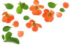 flor del membrillo aislado en el fondo blanco Flores rojas Visión superior con el espacio de la copia Imagen de archivo