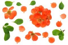 flor del membrillo aislado en el fondo blanco Flores rojas Visión superior con el espacio de la copia Imagen de archivo libre de regalías