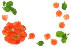 flor del membrillo aislado en el fondo blanco Flores rojas Visión superior con el espacio de la copia Fotos de archivo