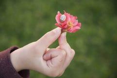 Flor del membrillo japonés con el caracol en la mano del niño Fotos de archivo libres de regalías