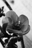 Flor del membrillo - mono Fotografía de archivo
