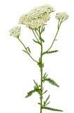 Flor del millefolium de Achillea Imagen de archivo libre de regalías