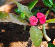 Flor del milli del euforbio en maceta Foto de archivo