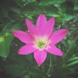 Flor del minuta de Zephyranthes Fotografía de archivo libre de regalías