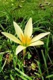 Flor del minuta de Zephyranthes Imagen de archivo libre de regalías