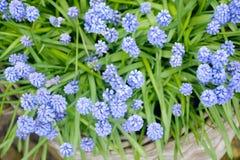 Flor del Muscari azul de las flores tempranas de la primavera imagen de archivo