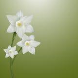 Flor del narciso Fotografía de archivo