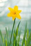 Flor del narciso Imágenes de archivo libres de regalías