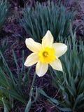 Flor del narciso Imagen de archivo