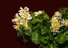 Flor del narciso Foto de archivo