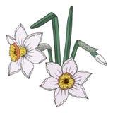 Flor del narciso con el brote y la hoja aislados ilustración del vector