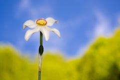 Flor del narciso contra el cielo azul Foto de archivo