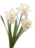 Flor del narciso en blanco Imágenes de archivo libres de regalías