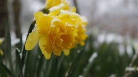 Flor del narciso en la nieve Imagen de archivo
