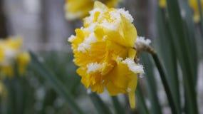 Flor del narciso en la nieve Fotos de archivo