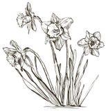 Flor del narciso o flor del narciso libre illustration