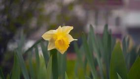 Flor del narciso y hoja verde en jardín de flores del narciso en el verano o el día de primavera soleado almacen de metraje de vídeo