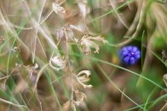 Flor del neglectum del Muscari Foto de archivo libre de regalías