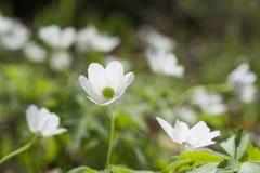 Flor del nemorosa de la anémona con el foco selsctive Imagen de archivo libre de regalías